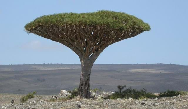 Dracaena cinnabari (dragons blood tree) on Socotra