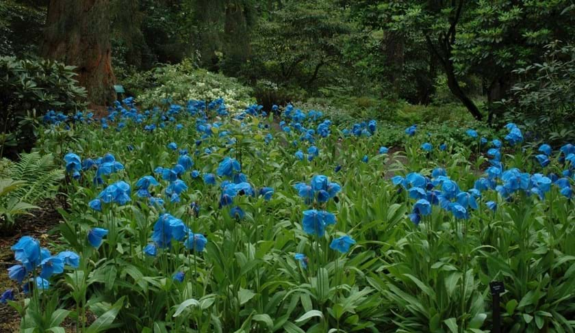 Meconopsis (Himalayan blue poppies)