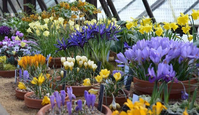 Crocuses in the Alpine House, Edinburgh