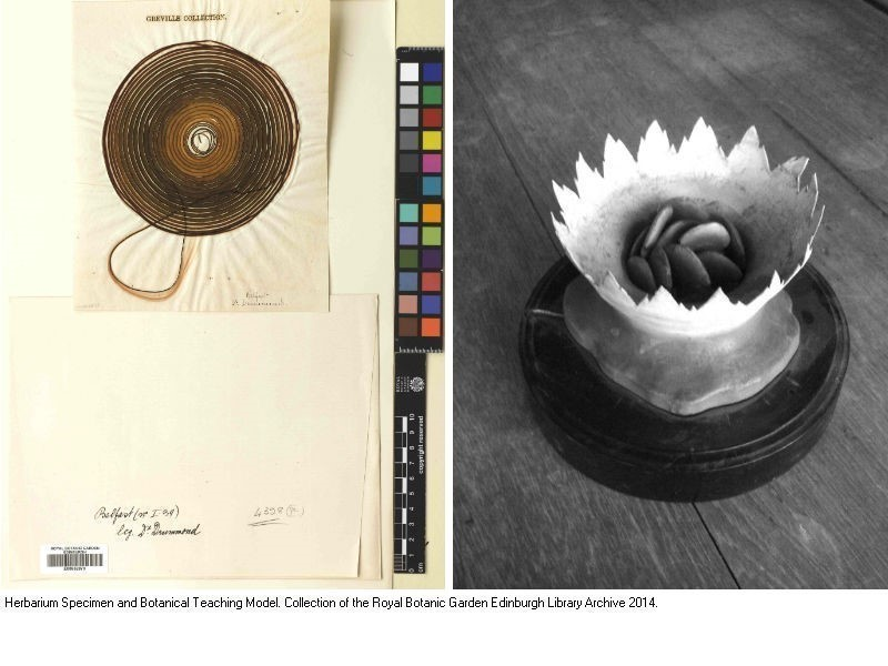 Herbarium Specimen and Botanical Teaching Model. Collection of the Royal Botanic Garden Edinburgh Library Archive.