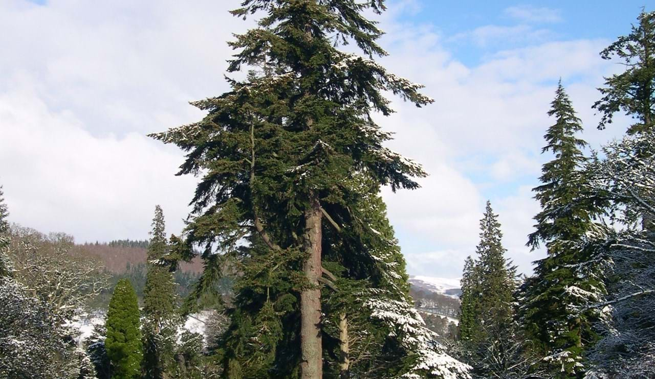 Tall fir tree is surrounded by snow