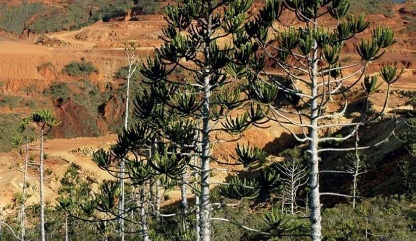 Threatened conifers in mining region of New Caledonia