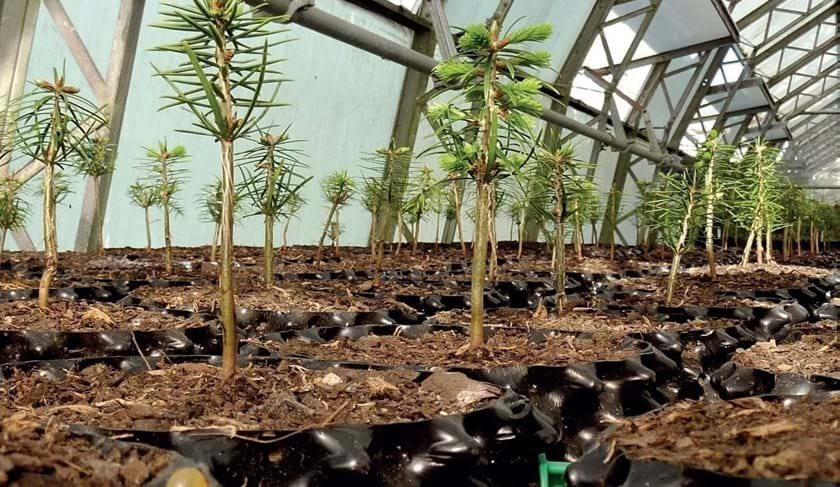 Cultivating conifers