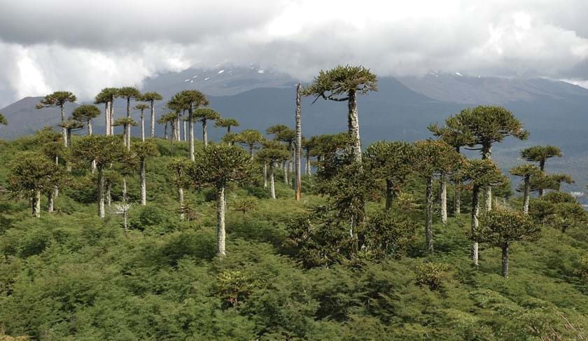 Landscape of Chilean Rain forest