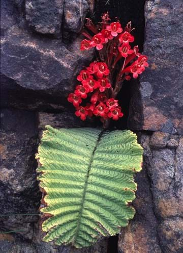Red flowers and large leaf of Streptocarpus dunnii