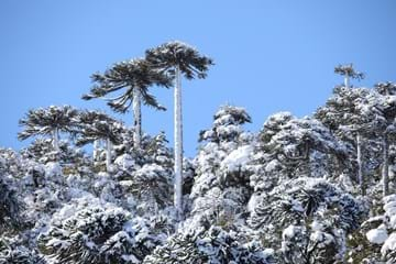 Snow covered Araucaria araucana, Nasampulli Reserve, Chile