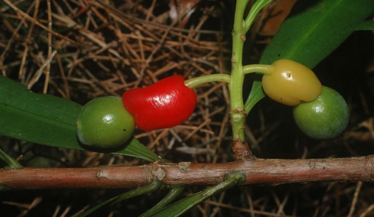 Red and green female cones of Podocarpus orarius