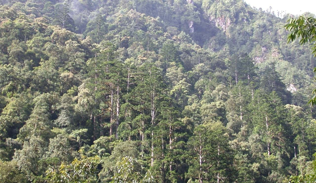 Taiwania forest on steep slopes, Gongshan, Yunnan