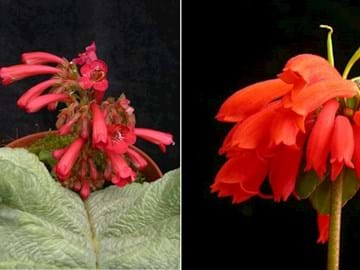 Red flowers of different species in the Gesneriaceae family