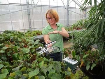 Researcher measuring rates of photosynthesis in Begonia