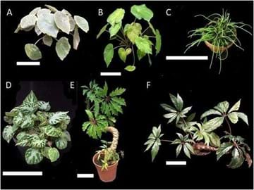 A composite image with six Begonia species, each with a very different leaf form, including compound, peltate, and variegated forms