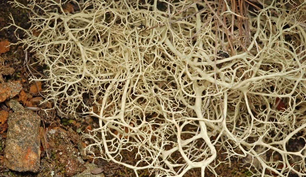 Alectoria ochroleuca – alpine sulphur tresses, a mass of tangled branches on mountain summits