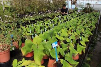 Streptocarpus Research Collection